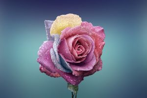 美をクリエイトきれいなバラ