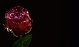 暗闇のバラ