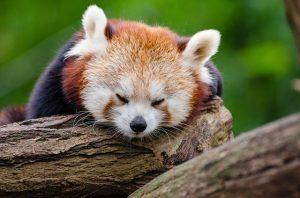 レッサーパンダ眠る