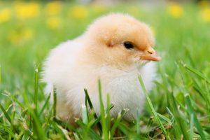chicksフカフカ