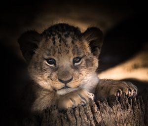 lion赤ちゃん
