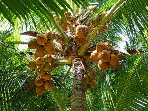 coconuts-