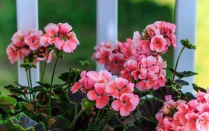 pink-geranium