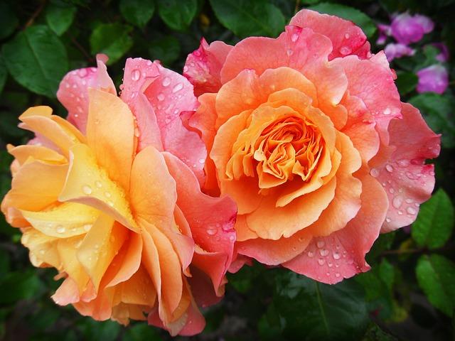 roseみずみずしい