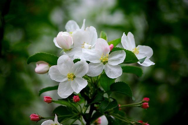 細胞活性リンゴの花